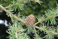 Dahurian Larch Larix gmelinii (Pinaceae) HEIGHT to 30m <br /> Slender, conical deciduous tree. BARK Reddish-brown and scaly. BRANCHES Level, sometimes forming flattish areas of foliage, and supporting long, yellowish or red-brown, downy shoots. LEAVES Blunt-tipped needles, bright green above with 2 paler bands below, to 4cm long; in clusters of 25. REPRODUCTIVE PARTS Female cones similar to those of other larches, with pinkish or greenish, slightly projecting bracts, becoming brown when ripe, with square-ended scales. STATUS AND DISTRIBUTION Native of E Asia, sometimes planted for timber or as a specimen tree here.