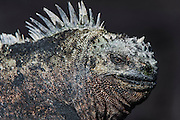 Marine Iguanas(Amblyrhynchus cristatus) <br /> Fernandina Island<br /> Galapagos<br /> Ecuador, South America<br /> ENDEMIC TO THE ISLANDS