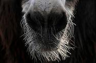 """Poitou Donkey (Baudet de Poitou) (Equus asinus asinus) hairy mouth, heaviest donkey in world, a weigh to 450 kg. Poitou donkey is a giant donkey and an endangered domestic animal. The originating country is France. Typical is the red brown long shaggy coat, called a """"cadanette"""". The area around eyes and mouth is silvery white. It's normal the hairs felting. Since Middle Ages poitou donkeys used as breeding and transport animals in agriculture. Cleeberg, Langgoens, Hesse, Germany.This picture is part of the series """"Creature's Coiffure""""..Poitou-Esel (La Baudet de Poitou) (Equus asinus asinus).Behaarte Schnauze. Es ist der schwerste Esel der Welt und kann bis zu 450 kg wiegen. Der Poitou-Esel gehört zu den Rieseneseln und ist eine bedrohte Haustierrasse. Sein Ursprungsland ist Frankreich. Charakteristisch ist sein rot-braunes langes Zottelfell. Die Augen- und Maulpartie ist weiss silbrig. Es ist normal, dass die Haare zu dicken Zotteln verfilzen. Poitou-Esel gibt es seit dem frühen Mittelalter und wurden in der Landwirtschaft, als Zucht- und Transporttiere eingesetzt. Cleeberg, Langgoens, Hessen, Deutschland.Dieses Bild ist Teil der Serie ,,Die Frisur der Kreatur"""""""