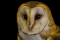 Barn owl, Nature's Educators, which cares for non releasable birds of prey, Sedalia, Colorado USA.