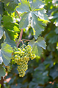 Grape bunch and vine leaf. Parellada grape variety (big leaves). Kantina Miqesia or Medaur winery, Koplik. Albania, Balkan, Europe.