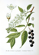 Bird Cherry (Cerasus padus or Prunus padus) deciduous large shrub or small tree, a native of Northern Europe and Northern Asia. From Amedee Masclef 'Atlas des Plantes de France', Paris, 1893.