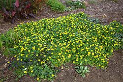 Ranunculus ficaria Flore Pleno growing at Cotswold Garden Flowers. Lesser Celandine