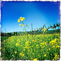 18 March 2014: Mustard growing between vines in Sonoma County,  California.  iPhone Stock Photo