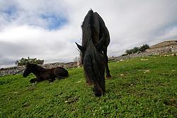 27\10\2010 Nel pascolo della masseria Salita delle Pere ( Canale di Pirro ) delimitato da muretti a secco un cavallo murgese bruca  mentre  un'altro equino della stessa razza è disteso sull'erba, in lontananza, all'estrema destra si può scorgere il recinto di caprette nane...In Puglia, ancora oggi, persistono realtà autentiche e genuine: flora e fauna sono gli ingredienti base delle masserie che con i loro muretti a secco costellano il territorio del tacco d' Italia. Qui l'allevamento è una delle attività principali, ieri come oggi, che il massaro porta avanti quotidianamente con pazienza e devozione. La masseria delle Murge è abitata da equini, bovini, ovini ecc. che sono il motore della produzione alimentare come per esempio la tipica mozzarella. Entriamo quindi in un'atmosfera bucolica che ci fa respirare odori, gustare sapori e ammirare colori che identificano il territorio. Buon viaggio dei sensi..