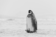 Lonely juvenile Emperor Penguin chick making its was to the edge of the pack ice at Cape Washington, Antarctica