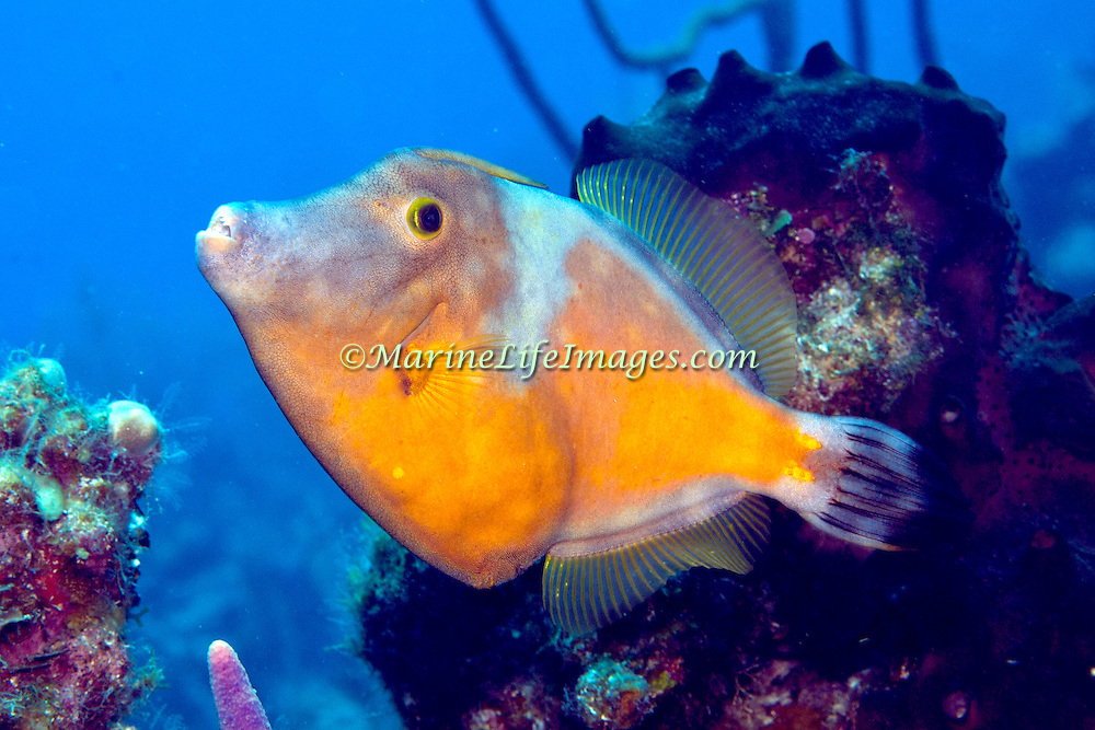 Whitespotted Filefish swim slowly over and around reefs in Tropical West Atlantic, often in pairs with one displaying white-spot pattern; picture taken San Salvador, Bahamas.