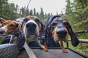 Walker and Black & Tan hounds wearing GPS tracking collars during a 2019 Idaho spring black bear hunt