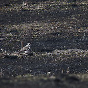 Short-eared owl (Asio flammeus) sitting on recently burned grassland habitat that it needs for a nest site. Ninepipe National Wildlife Refuge, Montana