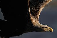 White-tailed Sea Eagle, Norway