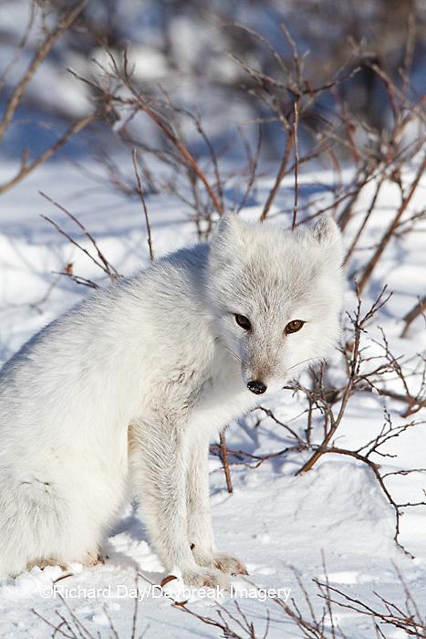01863-01118 Arctic Fox (Alopex lagopus) in snow in winter, Churchill Wildlife Management Area, Churchill, MB Canada