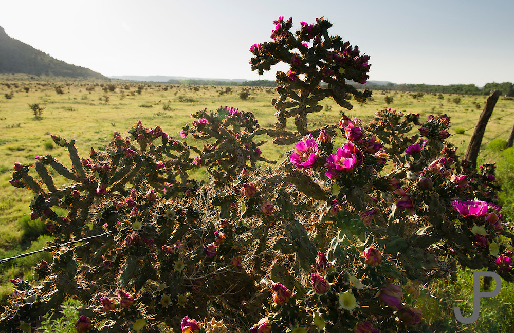 Cactus grows abundantly in No Man's Land. Ranchers fight a constant battle to keep the cactus at bay.