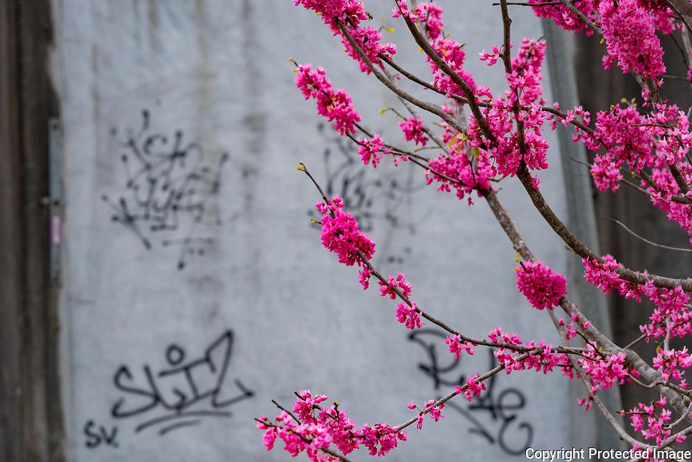 Blooms and Graffitti on the Beltline Westside