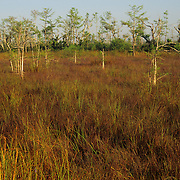 Dwarf cypress trees in Everglades National Park, FL.