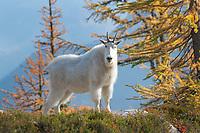 Mountain Goats<br /> (Oreamnos americanus) at Stiletto Lake, North Cascades National Park Washington