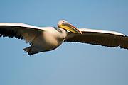 Israel, Maagan Michael Fish ponds, White Pelican, Pelecanus onocrotalus in flight