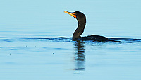 Double-crested Cormorant (Phalacrocorax auritus). Fort De Soto Park. Pinellas County, Florida. Image taken with a Nikon D4 camera and 500 mm f/4 VR lens.