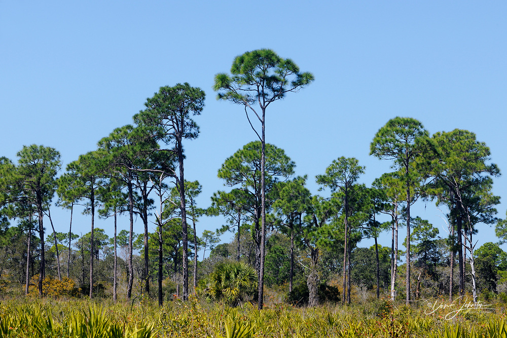 Pine trees and palmettos in pine flatwoods ecosystem, Oscar Scherer State Park, Florida, USA