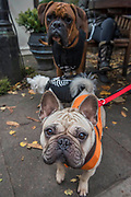 Lizzy the pug - A charity Halloween Dog Walk and Fancy Dress Show organised by All Dogs Matter at the Spaniards Inn, Hampstead. London 29 Oct 2017.