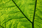 A detail on the underside of a giant leaf of Gunnera manicata at The Royal Botanic Garden Edinburgh RBGE, on 26th June 2019, in Edinburgh, Scotland. Gunnera manicata, known as Brazilian giant-rhubarb giant rhubarb, or dinosaur food, is a species of flowering plant in the Gunneraceae family from Brazil. It is a large, clump-forming herbaceous perennial growing to 2.5 m 8 ft tall by 4 m 13 ft or more.
