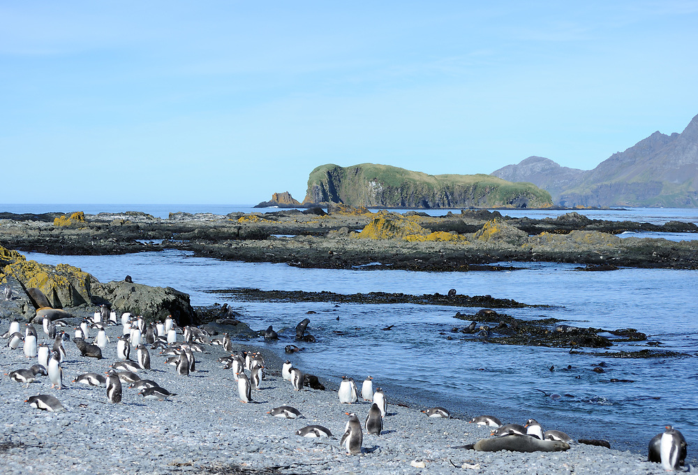 Gentoo penguins (Pygoscelis papua) and young  antarctic fur seals (Arctocephalus gazella)  on the beach of Prion Island. Prion Island, Bay of Isles, South Georgia. 19Feb16