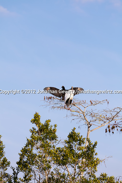 An American Black Vulture (Coragyps atratus) and a Wood Stork (Mycteria americana) perch together in a cypress tree in Everglades National Park, Florida. WATERMARKS WILL NOT APPEAR ON PRINTS OR LICENSED IMAGES.