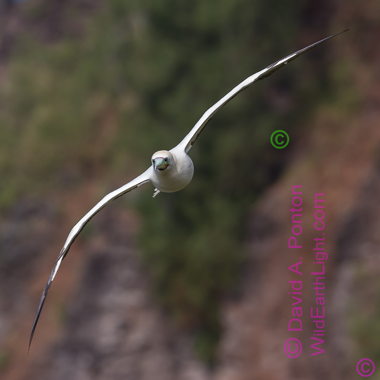 Red-footed booby flying along sea cliff, coast of Kauai, Hawaii, head-on view with the thiness of the wings evident, © David A. Ponton