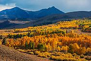 Aspen trees in fall near Conway Summit, Mono County, Eastern Sierra, California