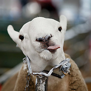 The Royal Highland Show, Scotland's annual farming and countryside showcase, organised by the Royal Highland and Agricultural Society of Scotland. A Hill Cheviot being groomed..<br /> <br /> Wednesday, June 21, 2017