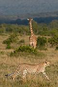 Cheetah (Acinonyx jubatus) and Masai Giraffe (Giraffe camelopardalis), Masai Mara National Reserve, Kenya.