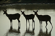 Barasingha (Rucervus duvaucelii)<br /> Eastern swamp deer<br /> Kaziranga National Park<br /> Assam<br /> North East India<br /> UNESCO World Heritage Site<br /> Vulnerable