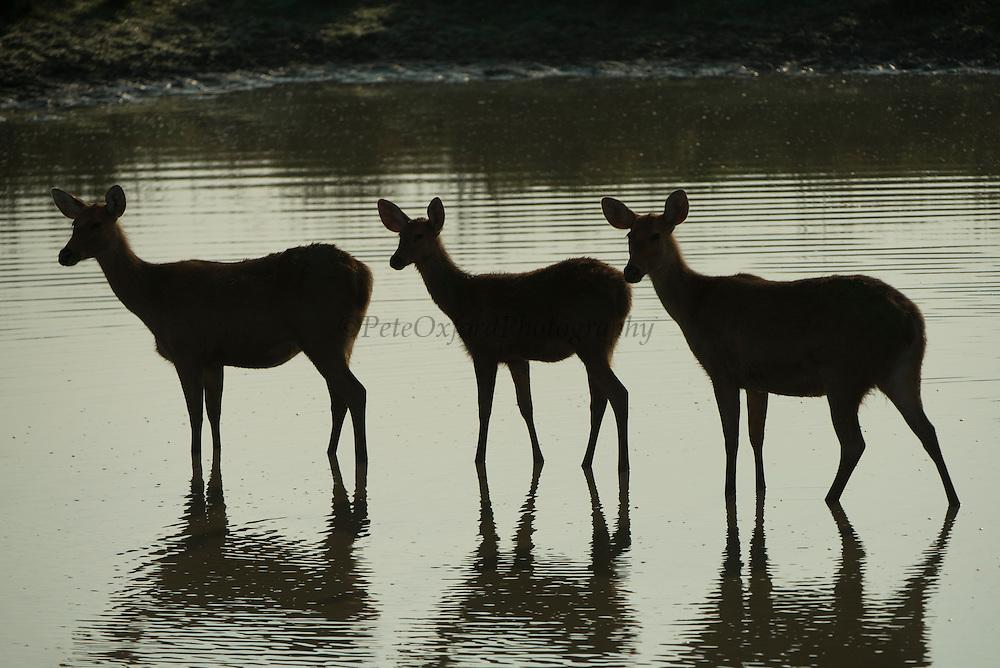 Barasingha (Rucervus duvaucelii)<br /> Eastern swamp deer<br /> Kaziranga National Park<br /> Assam<br /> North East India<br /> UNESCO World Heritage Site<br /> Vulnerable