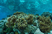 Coral Reef Diversity<br /> Cenderawasih Bay<br /> West Papua<br /> Indonesia