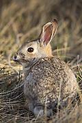 Eastern Cottontail Rabbit in Habitat