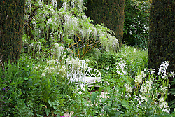 Wisteria by white seat at the end of The Rose Walk at Hidcote Manor Garden