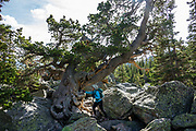 Gnarly pine tree at Lake Haiyaha. Hike a classic loop from Bear Lake Trailhead with spur trails to many beautiful lakes, waterfalls and peaks in Rocky Mountain National Park, Colorado, USA.Walk a scenic circuit of well-graded paths 6-13 miles with 1500-2600 feet gain. We enjoyed looping counterclockwise from Bear Lake Trailhead 13 miles via Bear Lake, Nymph Lake, Dream Lake, Emerald Lake, Lake Haiyaha, The Loch, Timberline Falls, Lake of Glass, Sky Pond, Alberta Falls then back. Arrive early for parking or take the shuttle.