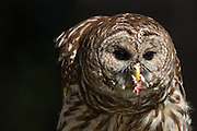 Barred owl eating prey at the Center for Birds of Prey November 15, 2015 in Awendaw, SC.