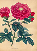 ROSA Gallica, officinalis, Officinal or French Red Rose From the book Roses, or, A monograph of the genus Rosa : containing coloured figures of all the known species and beautiful varieties, drawn, engraved, described, and coloured, from living plants. by Andrews, Henry Charles, Published in London : printed by R. Taylor and Co. ; 1805.