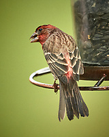House Finch Image taken with a Nikon D5 camera and 600 mm f/4 VR telephoto lens (ISO 1600, 600 mm, f/4, 1/640 sec)