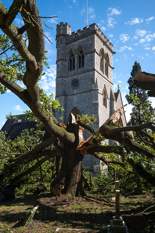 Damaged fallen ancient English oak tree, Quercus, in churchyard of a traditional parish church after period of stormy windy weather in Greater London, UK