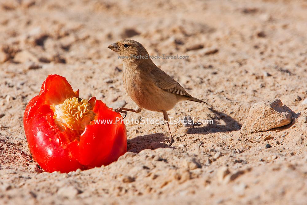 Sinai Rosefinch (Carpodacus synoicus) female on the ground, negev desert, israel
