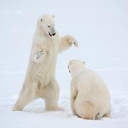 Polar bears (Ursus maritimus) play fighting. Cape Churchill, Manitoba