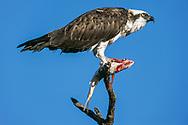 Osprey perched with partially eaten fish, Florida, © David A. Ponton