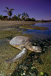 green sea turtle basking in the sun, Chelonia mydas, Kaloko-Honokohau National Historic Park, Kona, Big Island, Hawaii, USA, Pacific Ocean