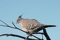 Australian Crested Pigeon