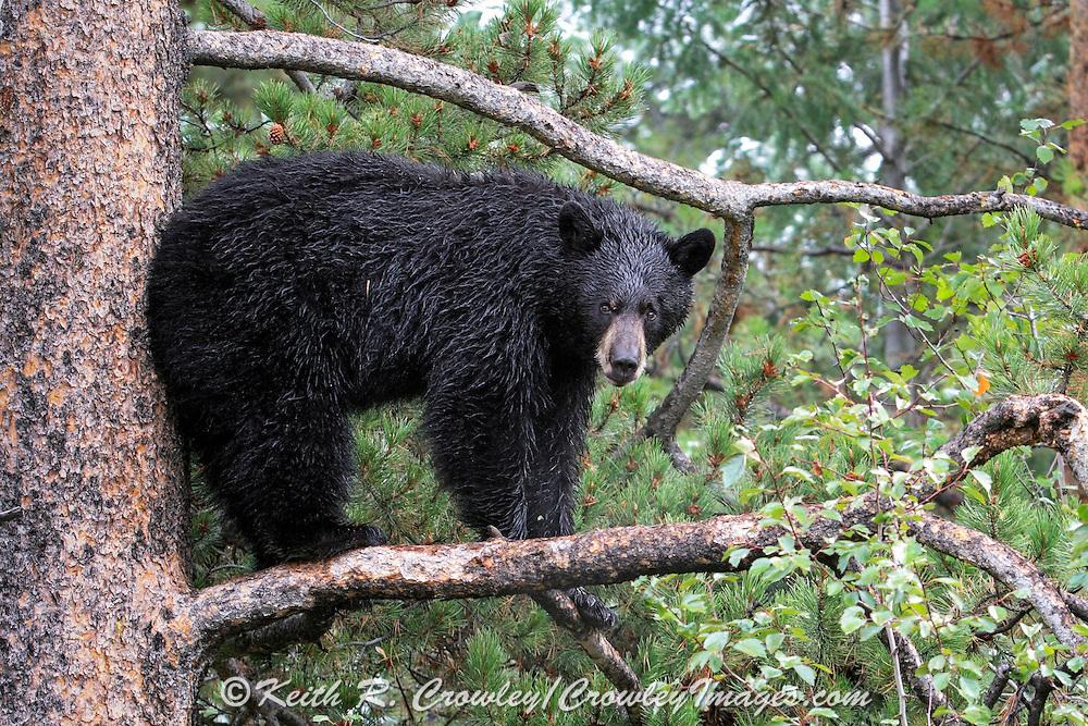 Adult Black bear in a tree