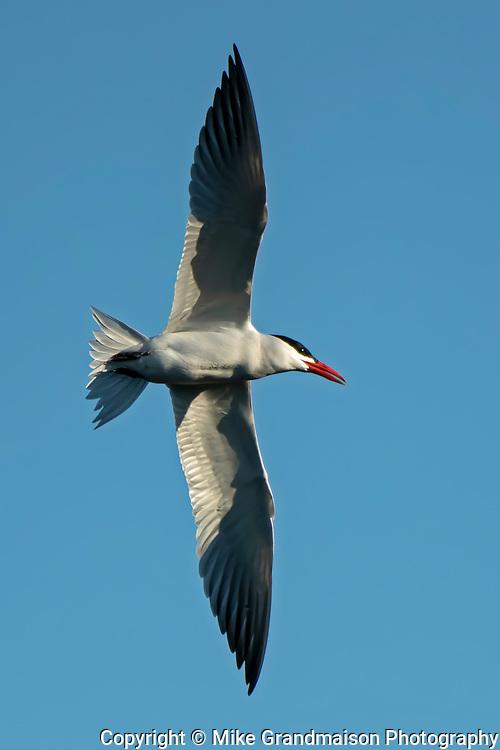 Caspian tern (Hydroprogne caspia) in flight<br />Winnipeg<br />Manitoba<br />Canada