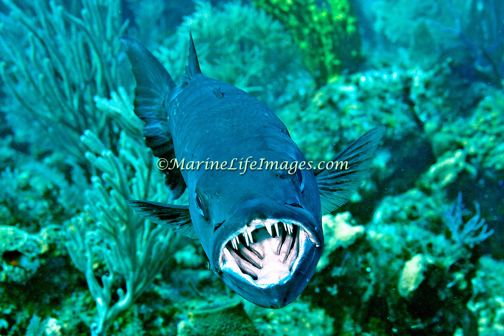 Great Baracuda reefs and nearby areas in Tropical West Atlantic, also nearly circumtropical; picture taken Little Cayman.