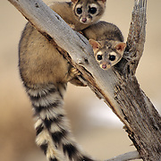 Ringtail (Bassariscus astutus) pair in southern Utah. Captive Animal