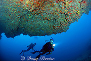 divers investigate lava ledge, encrusted with orange cup corals, south shore, Kauai, Hawaii ( Pacific )